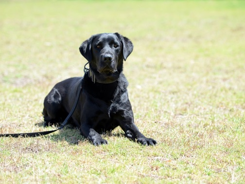 A black Labrador looks at the camera