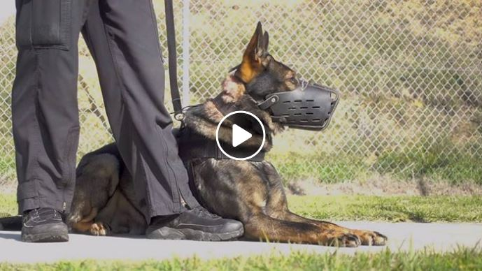 Dual purpose police dog in muzzle with handler. Play button overlay to identify story has video.
